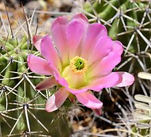 Delicate Pink Cactus Blossom by Kathleen Brant
