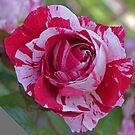 Red and White Rose by Margaret  Hyde