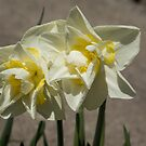 Pastel Yellow Spring - a Pair of Double Daffodils by Georgia Mizuleva