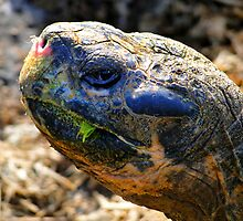 Large Galapagos Giant Tortoise by Al Bourassa