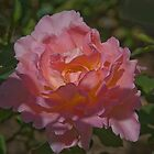 New Spring Rose by David DeWitt