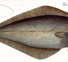 Halibut (Pleuronectes Hippoglossus) by Bridgeman Art Library