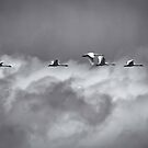 Swans Flying With The Storm by Thomas Young