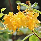 Yellow Wild Azalea  by Cynthia48