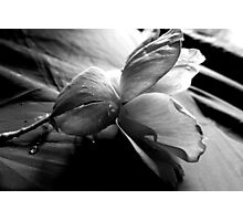 KNOCK OUT ROSE (BLACK AND WHITE PHOTO) Photographic Print