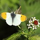 The joys of spring - Orange tip butterfly. by Rivendell7