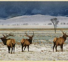 bull elk on the refuge by R Christopher  Vest