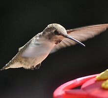 HUMMINGBIRD ANNA'S IN FLIGHT by JAYMILO