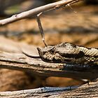 Horned Viper - Looking for Prey by Stefan Trenker