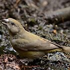Common Crossbeak - I by Peter Wiggerman