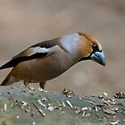 Male Hawfinch - II by Peter Wiggerman