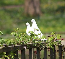 White Doves by Vicki Spindler (VHS Photography)