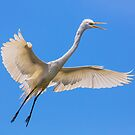 Flying Great Egret by Kenneth Keifer