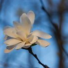 Creamy, Dreamy Wild Magnolia in the Forest by Georgia Mizuleva