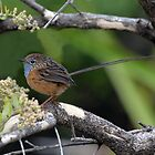 Southern Emu-wren taken at Leeuwin Naturaliste NP_WA by Alwyn Simple