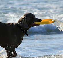 Weimaraner With Frisbee by Noel Elliot