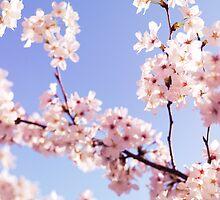Cherry blossom closeup art photo print by ArtNudePhotos
