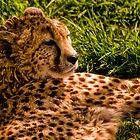Southern Cheetah (Acinonyx jubatus) by Jay Lethbridge