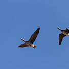 Pair Of Greater White Fronted Geese by Thomas Young