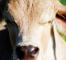 Close up - Poddy Calf by Danielle Espin