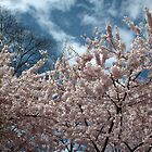 spring pink cherry blossoming tree. by naturematters