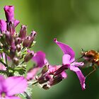 Bee fly sipping nectar  by Mortimer123