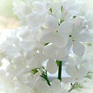White Lilac by Ana Belaj