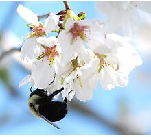 Bumble Bee In The Apple Blossoms Photographic Print