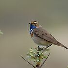 Bluethroat - I (Luscinia svecica) by Peter Wiggerman