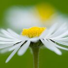 Chamomile by flashcompact