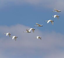 Flock Of Flying Tundra Swans by Thomas Young