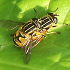 Playing piggy-back?  Hover flies by Rivendell7
