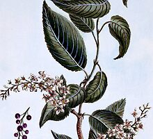 "Prunus padus or ""Bird Cherry"" by Bridgeman Art Library"