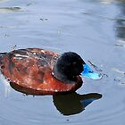 Blue-Billed Duck by Margot Kiesskalt