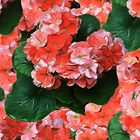 Geraniums by dogplay