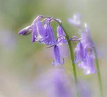 Pretty Bluebells by Heidi Stewart
