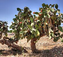 Opuntia ficus-indica by Tom Gomez