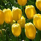 Tulips, In The Morning Sun by RickDavis