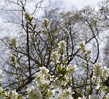 Flowering Tree at Filoli by erinwolf1997
