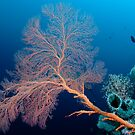 Fan coral and sponge, Wakatobi National Park, Indonesia by Erik Schlogl