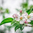 Apple tree flowers by TAMÁS KLAUSZ