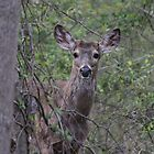 White Tailed Deer by Sheryl Hopkins
