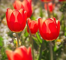 Red Tulips In The Sun by Ra12