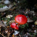 Red Fungi - North-West Tasmania by LynneJ