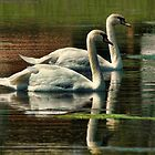 Swans Cruising by Rick  Friedle