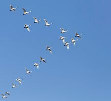 Flock Of Tundra Swans In Flight by Thomas Young