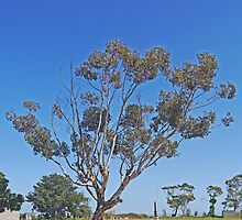 Roadside Tree, Meningie, South Australia by Margaret  Hyde