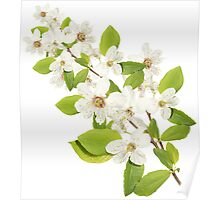 MANY WHITE FLOWERS Poster