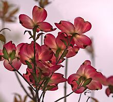 Dogwood Morning by Eileen McVey