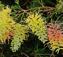 "Grevillea ""Peaches and Cream"" by metriognome"